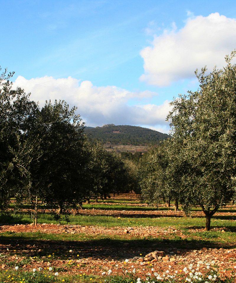 Oliviers et huile d'Olives